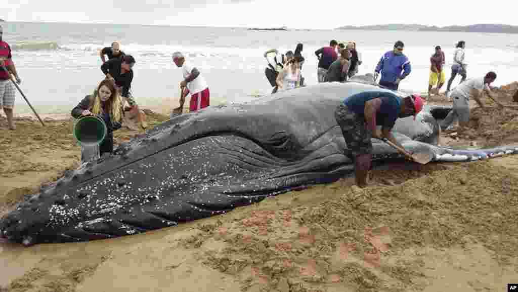 مردم برای نجات و زنده نگه داشتن نهنگی که در سواحل برزیل به گل نشسته، بر روی آن آب می پاشند. سرانجام او را به اقیانوس برگرداندند.