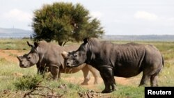 FILE - Black rhinos, one of the world's endangered animals, are seen at a farm outside Klerksdorp, in the northwest province, South Africa, Feb. 24, 2016.