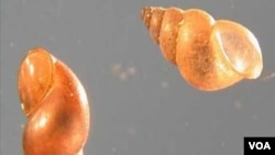 New Zealand mudsnails - Potamopyrgus antipodarum, undated USGS photo