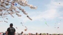 Warung VOA: Festival Bunga Sakura (3)