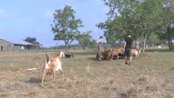 Texas Couple Becomes Goat-farming Entrepreneurs