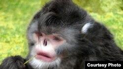 The Sneezing monkey from Myanmar, sneezes when it rains. (Photo: Thomas Geissmann / Fauna & Flora International)