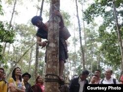 Seorang penyadap memperagakan keahliannya di Hutan Wisata Ilmiah Aek Nauli Toba, Sumatera Utara. (Foto: Humas KLHK)