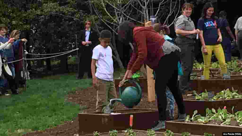 First Lady Michelle Obama waters plants in the White House kitchen garden, April 15, 2015.