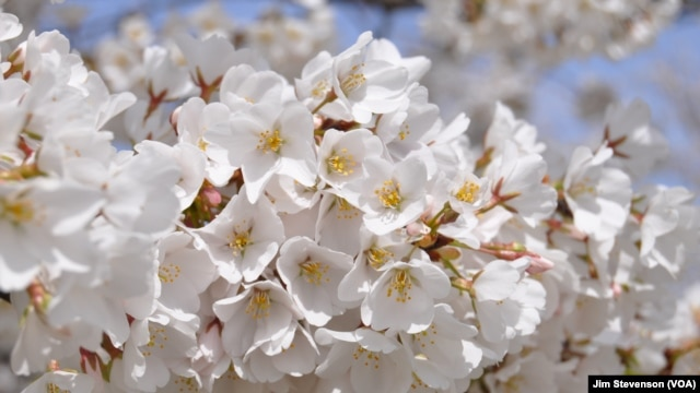 A close up look at one of Washington's Cherry Blossoms