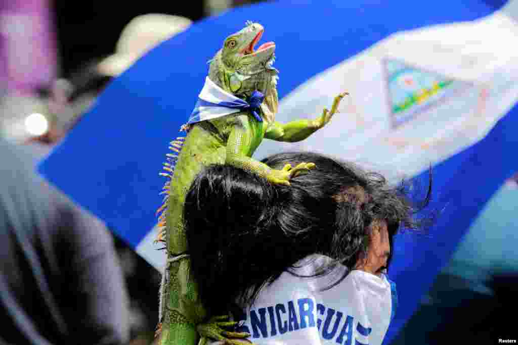 An anti-government protester carries an iguana on her head, as she takes part in a protest against Nicaraguan President Daniel Ortega's government in Managua, Sept. 15, 2018.