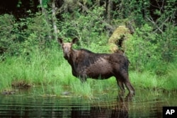 FILE - A moose wades in Superior National Forest near the Boundary Waters Canoe Area, Minn. Scientists blame warming climate for a drastic decline in the state's moose population.