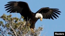 FILE - A bald eagle takes off in Mammoth Lakes, California.