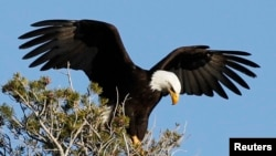 "The bald eagle is the national bird of the United States. The turkey's character was too ""questionable."" (File Photo)"