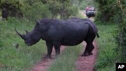 南非一個國家動物園的一頭白色犀牛