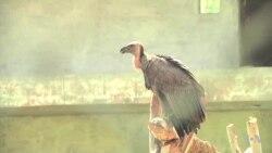 ปากีสถานยับยั้งการสูญพันธุ์ขั้นวิกฤตของนกแร้งหลังขาว