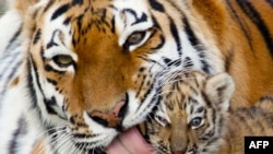 Trong 10 năm qua, số lượng hổ đã sụt giảm đáng kể do nạn săn bắt trộm và tình trạng bị mất nơi cư trú