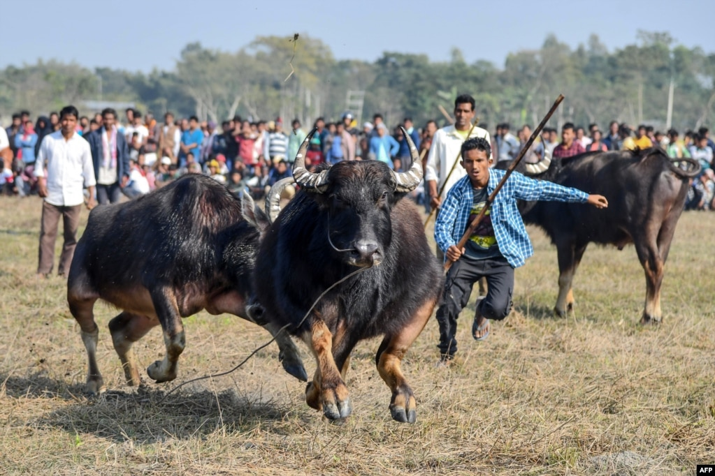 Buffalo owners try to control their buffalos during a traditional buffalo fight held as part of Bhogali Bihu festival in Boidyabori village, about 80 kilometers from Guwahati.
