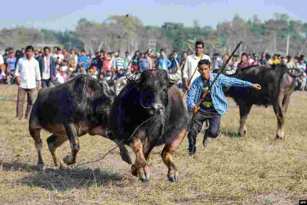 Buffalo owners try to control their buffalos during a traditional buffalo fight held as part of Bhogali Bihu festival at Boidyabori village, some 80 km from Guwahati.