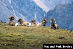 Bighorn sheep rams are among the wildlife that call Rocky Mountain National Park home.