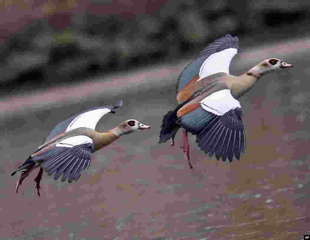 Dua ekor angsa Mesir terbang di atas sebuah danau di Frankfurt, Jerman.