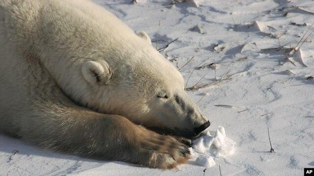Các chuyên gia đổ lỗi cho tình trạng tan chảy băng ở Bắc Cực, khiến gấu Bắc Cực mất dần nơi sinh sống
