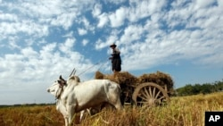 A farmer guides his cows as they pull a cart loaded with hay in his paddy field in Naypyitaw, Myanmar.
