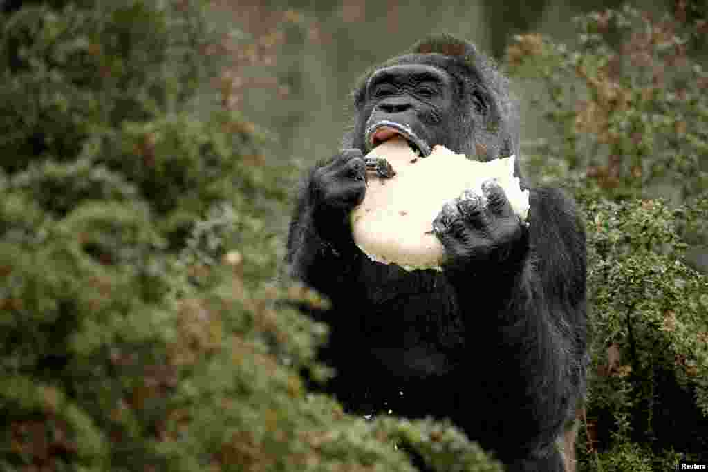 "The gorilla ""Fatou"" eats a birthday cake at the Berlin Zoo, Germany."