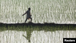 A farmer spreads fertilizer in a paddy at Taraori village, Haryana state, India.