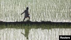 A farmer spreads fertilizer in a paddy at Taraori village, Haryana state, India.