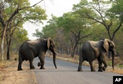 FILE -- In this Thursday, Oct. 1, 2015 file photo an elephant crosses a road in the Hwange National Park, Zimbabwe. Zimbabwe's wildlife agency said Thursday, Jan. 5, 2017 it has sold 35 elephants to China to ease overpopulation and raise funds