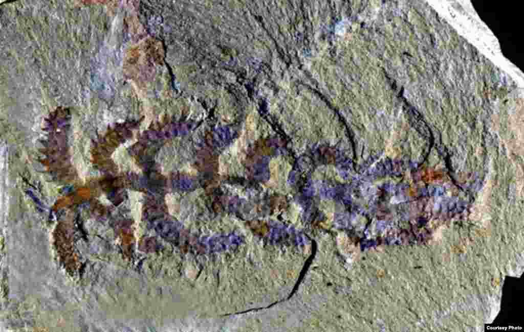 Diania cactiformis. Popularni naziv: Hodajući kaktus - fosil pronađen u KIni pripada vrsti sa crvolikim tijelom koje je imalo i esktremitete. (Photo: Gianni Liu)