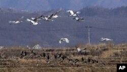 한국 정부는 강원도 철원 백마고지 역에서 경원선 철도 남측 구간 복원공사 기공식을 5일 갖는다고 밝혔다. 비무장지대 남쪽 철원 계곡 위로 새들이 무리지어 날아가고 있다. (자료사진)