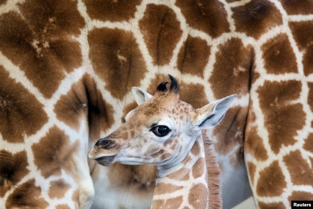 A female Rothschild giraffe, named Sandy Hope, stands next to it's mother at the LEO Zoological Conservation Center in Greenwich, Connecticut, April 2, 2013.