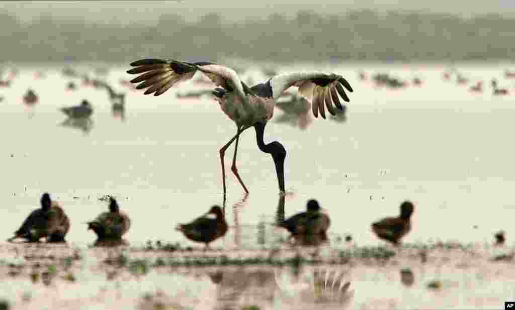 A black back naked stork catches his prey in Pobitora wetland wildlife sanctuary on the outskirts of Gauhati, India.