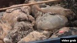 江中打撈上來的死豬(視頻截圖)