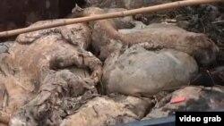 江中打捞上来的死猪(视频截图)