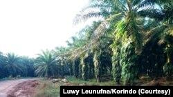 Lokasi di mana Marius Betera menanam pohon pisang di tengah perkebunan sawit Korindo Group.(Foto: Luwy Leunufna/Korindo)