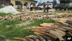 Workers sort and count elephant tusks as they do an inventory of ivory stocks as part of an effort to combat illegal ivory trafficking, in Libreville, Gabon, April 1, 2012.