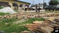 Gading-gading gajah yang disita dari pasar gelap di Gabon. (Foto: Dok)