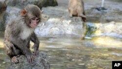 Seekor monyet di Kebun Binatang Takasakiyama, Jepang. (Foto: dok. AP Photo/Kyodo News)