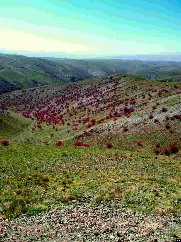 درختچههای ارغوان – طرقبه، خراسان عکس: حیدر هزاره (ارسالی شما)