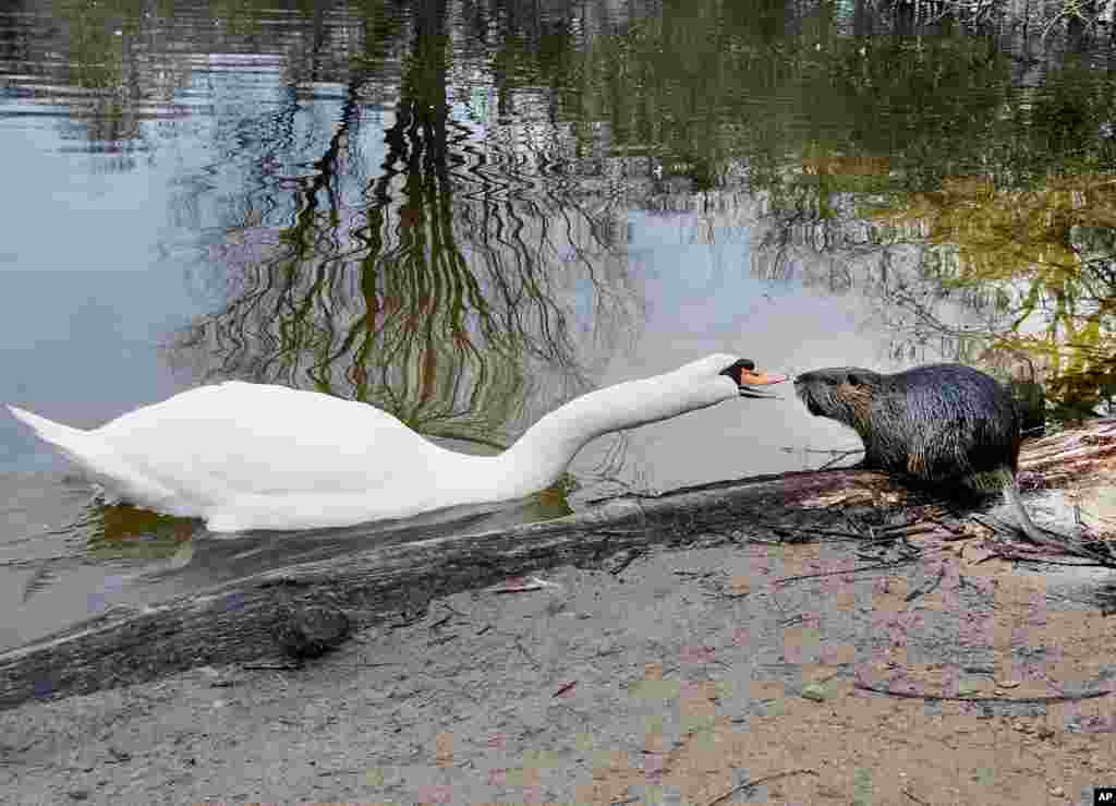 A swan and a nutria appear as if they are having a heated discussion at a small lake in Frankfurt, Germany.