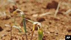 지난달 25일 북한 남포에서 가뭄으로 말라가는 농작물.