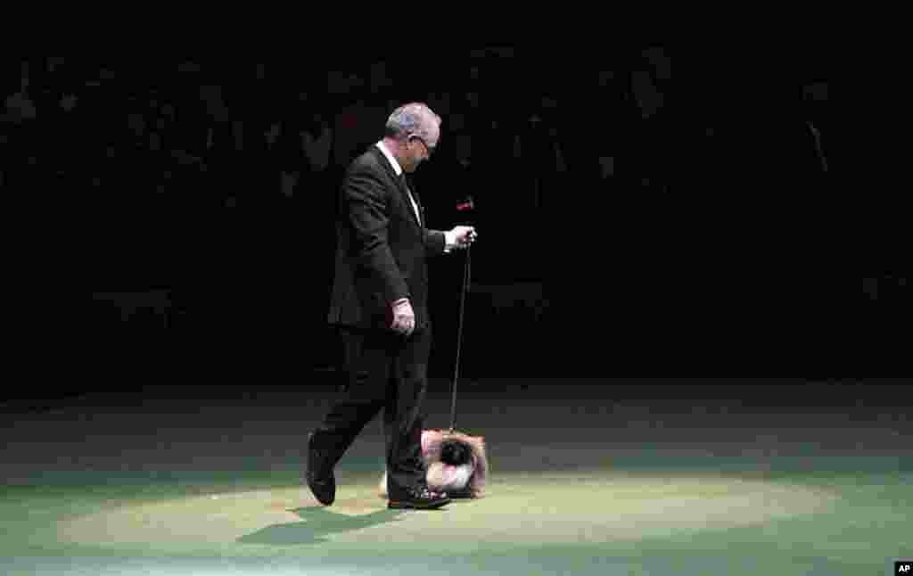 Malachy, a Pekingese, is handled by owner David Fitzpatrick as he competes for best in show during the annual Westminster Kennel Club dog show, February 14, 2012. (AP)