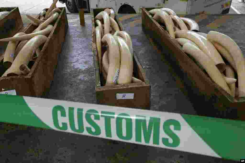 HONG KONG: Authorities in Hong Kong revealed crates of illegal elephant tusks, rhino horns and leopard skins on August 7, 2013.