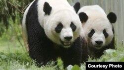 美香(左)和添添2000年12月6日抵达华盛顿国家动物园(Ann Batdorf, NZP photographer)