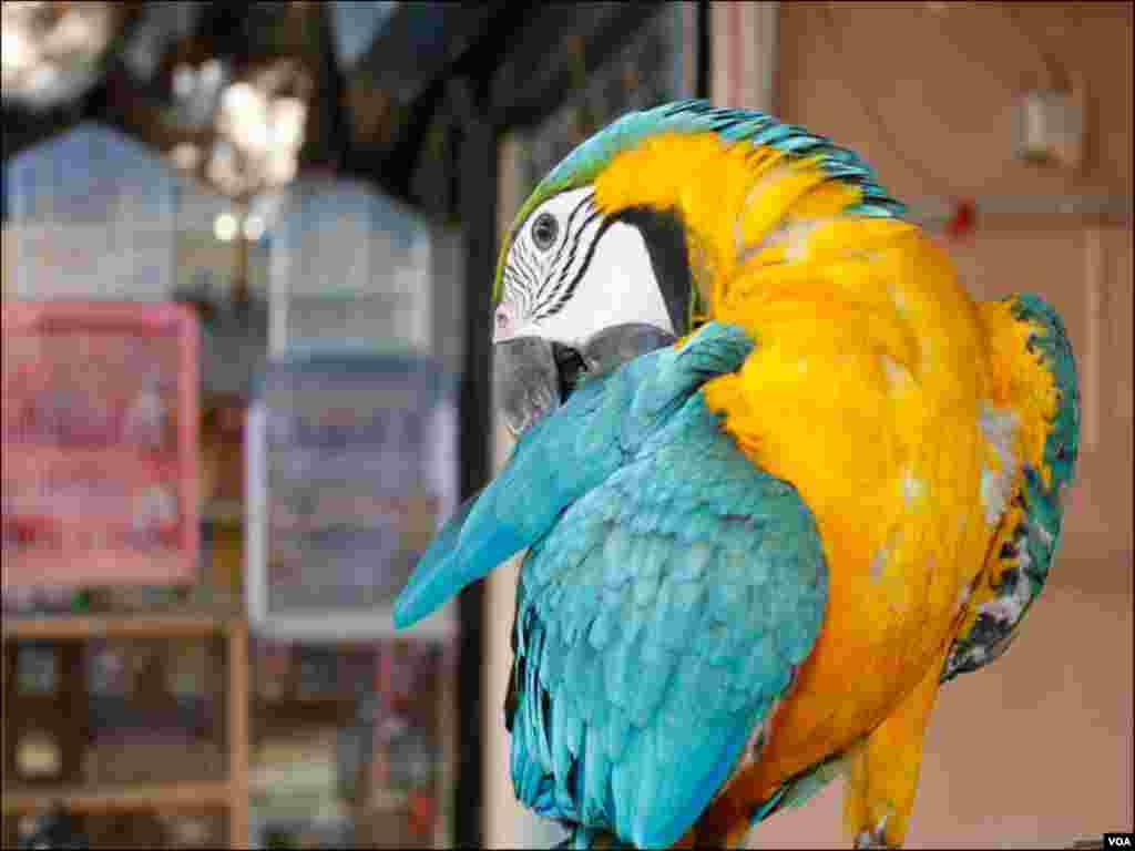 مارکیٹ میں موجود مختلف نسلوں کے طوطے بھی لوگوں کی توجہ کا مرکز بنے رہتے ہیں، جنھیں دکاندار پنجروں کے باہر بھی رکھتے ہیں