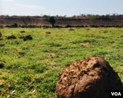 Elephant dung covers the flood plains of the Chobe river which separates Botswana and Namibia. (Mqondisi Dube/VOA)