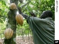 Un planteur ivoirien dans son champ de cacao