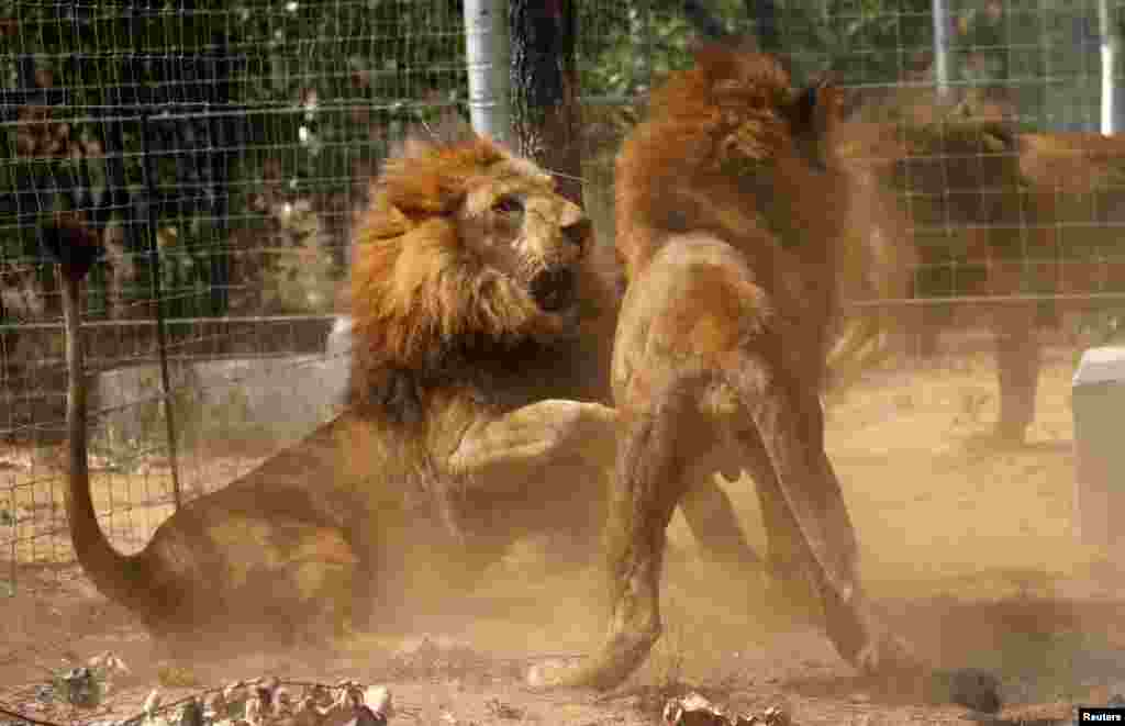 Some of the 33 lions rescued from circuses in Peru and Columbia fight after being released at their final destination at the Emoya Big Cat Sanctuary, outside Vaalwater in South Africa's northern Limpopo province.