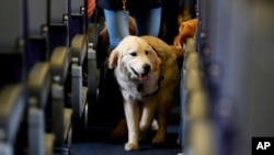 FILE - A service dog strolls through the isle inside a United Airlines plane at Newark Liberty International Airport in Newark, N.J., April 1, 2017.