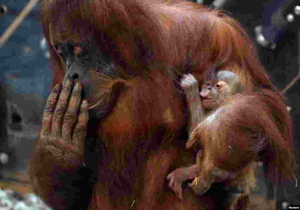An 11-day-old baby orangutan of Sumatra named Mathai is held by its mother Sari at the Pairi Daiza wildlife park, zoo and botanical garden in Brugelette, Belgium.