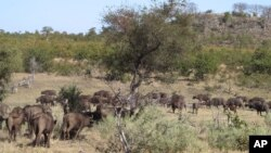 a herd of buffalo pass by in the Kruger National Park, South Africa, Aug. 7, 2016. Rangers are killing about 350 hippos and buffalo in an attempt to relieve the impact of a severe drought.