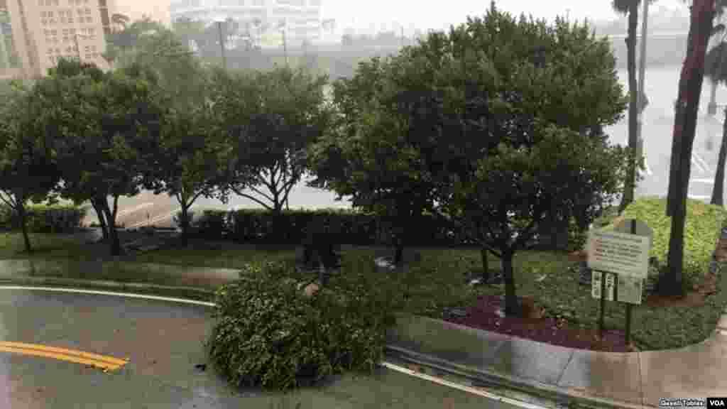 Árboles se caen con la llegada de Irma a Florida.El huracán llegó el domingo en la mañana.